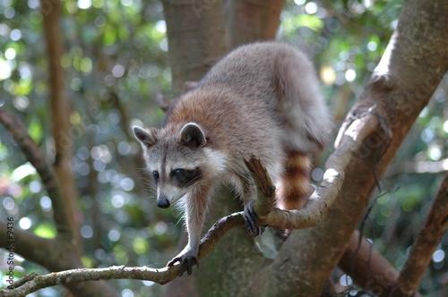 Carta da parati  Raton laveur ou racoon (Guadeloupe) 3