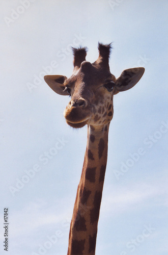 Cadres-photo bureau Girafe girafe