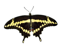 Giant Swallowtail Butterfly White Background