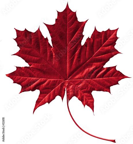 Photo  crimson maple leaf