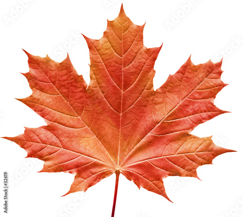 Foto reddish maple leaf