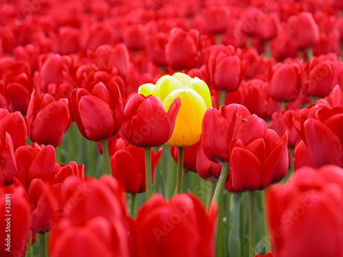 Poster Cuban Red yellow tulip