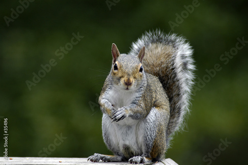 Photo sur Toile Squirrel squirrel feeding