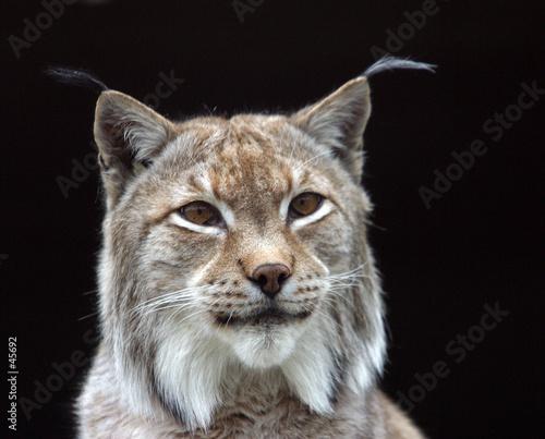 Foto auf Leinwand Luchs lynx