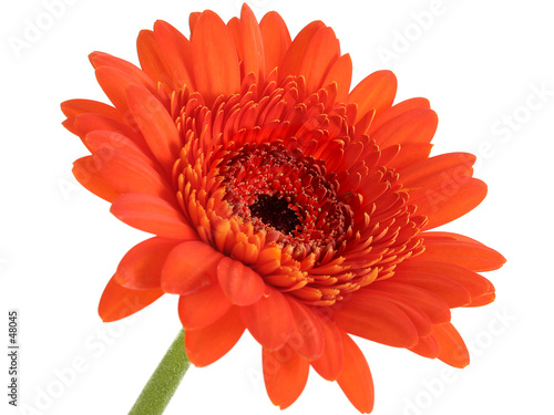 Photo deep orange gerber daisy focus in center
