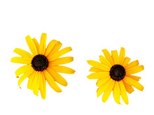Two Yellow Daisies