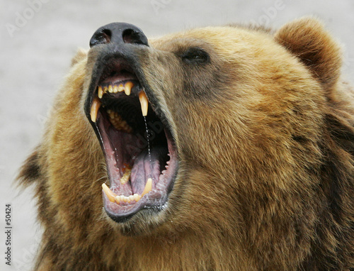 shouting bear