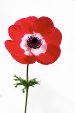 Red Anemone Over White