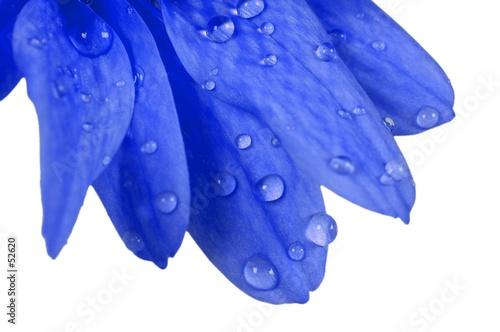 canvas print motiv - Richard Lister : wet petals 2