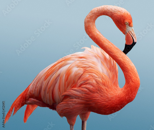 Canvas Print flamingo