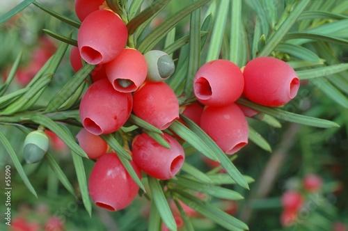 Fototapeta yew-tree berries