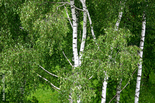 Photo Stands Birch Grove birches in a late springtime