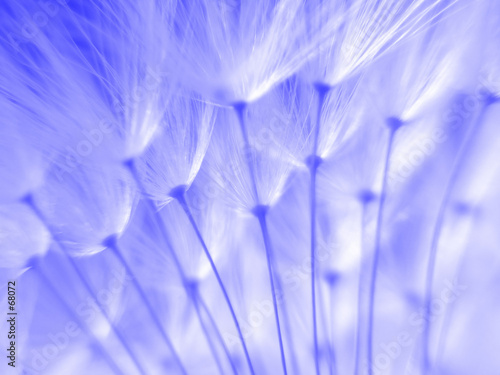 blue dandelion seeds