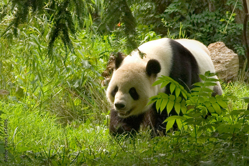 Foto op Canvas Panda giant panda 1