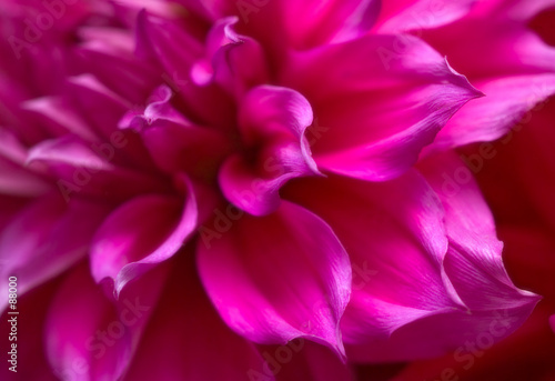 Poster de jardin Dahlia purple and pink petal study