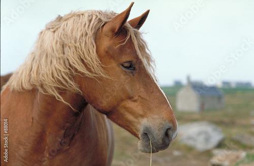 Fényképezés  cheval de trait postier breton