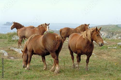 Fotografie, Obraz  chevaux de trait breton