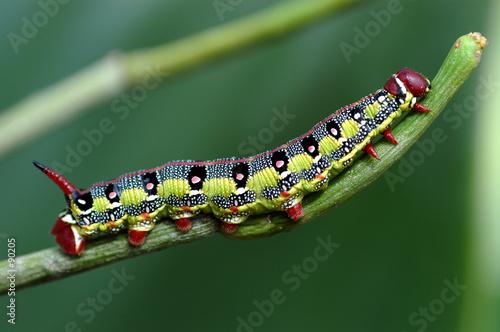 Fotografía  macro caterpillar