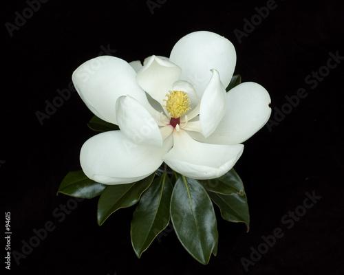 Canvas Prints Magnolia magnolia