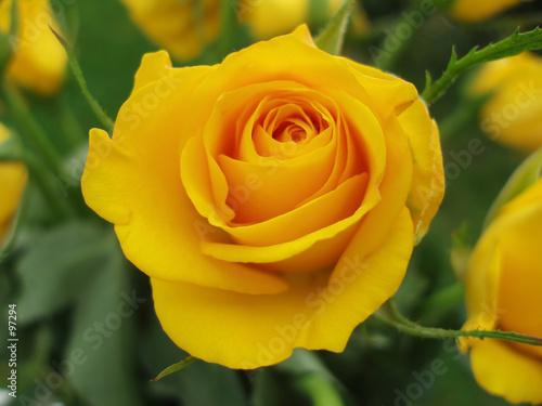 Fotobehang Macro close-up of yellow rose