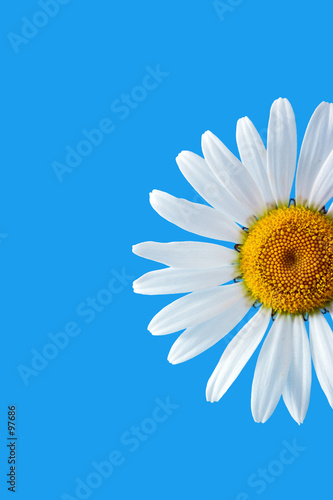 Foto op Canvas Madeliefjes daisy on blue