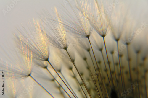 Canvas Prints Dandelions and water dandelion seed in twilight