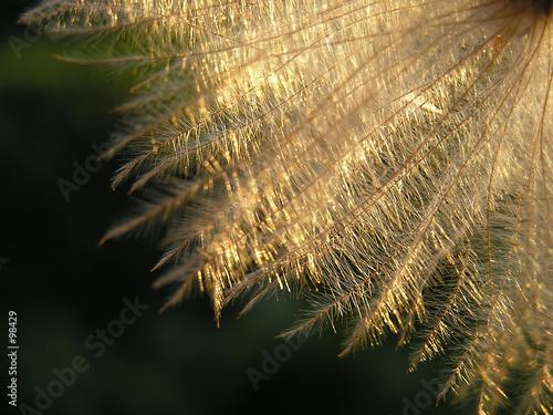 Keuken foto achterwand Paardebloemen en water dandelion seed in twilight