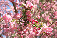 Beautiful Crabapple In Spring