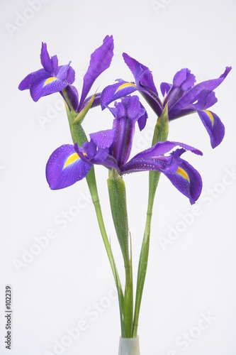 Spoed Foto op Canvas Iris flowers on the white background