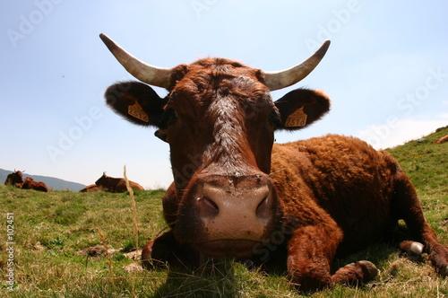 Leinwand Poster vache de salers