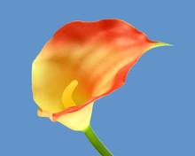 Flaming Cali Lily