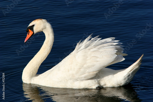 Poster Cygne the grace of the swan