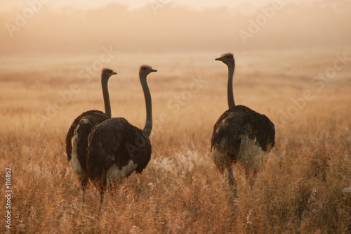 Tuinposter Struisvogel three ostriches