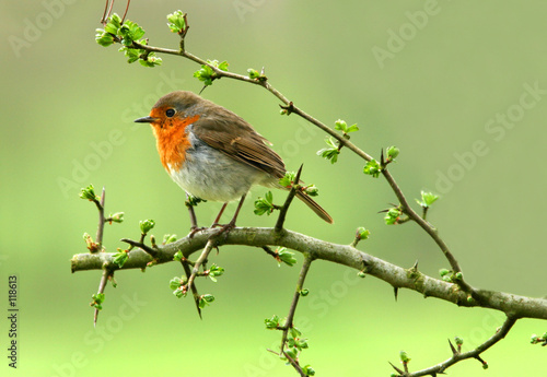 Foto op Aluminium Vogel the robin