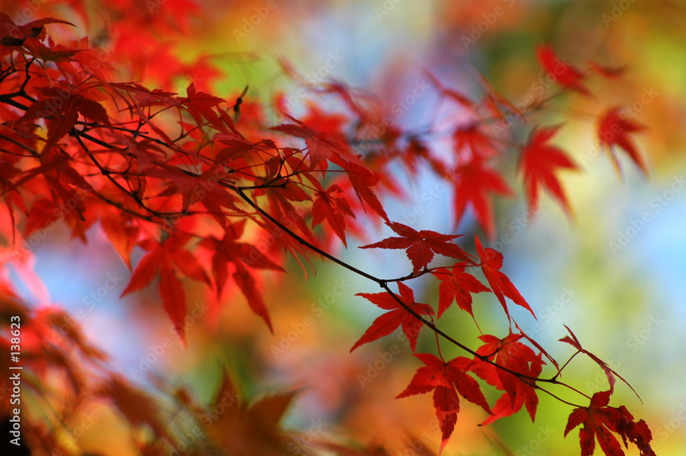 Fototapety, obrazy: japanese red maple in autumn