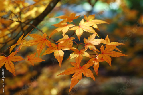 Foto-Schiebegardine ohne Schienensystem - japanese maple in autumn (von felinda)