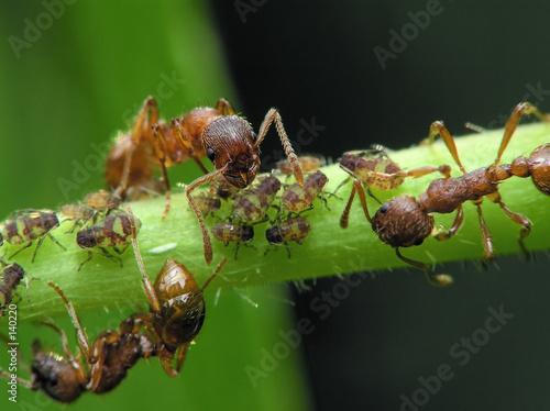 ants & aphis Wallpaper Mural