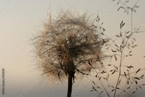 dandelions-przed-lekkim-tlem