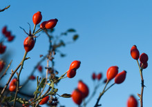 Wild Rose Hips In A Hedgerow
