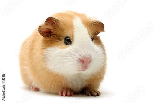 Stoff bedrucken - guinea pig over white (von Sascha Burkard)