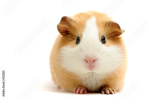 Fotomural guinea pig over white