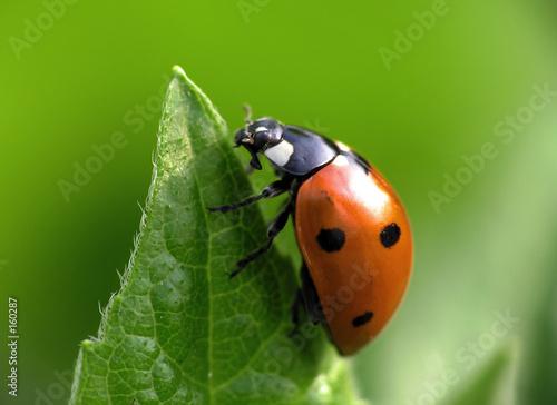 Cuadros en Lienzo ladybug