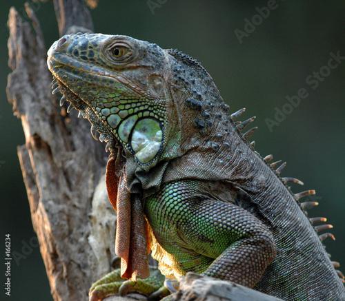 Poster Chamaleon iguane vert-green iguana