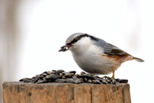 A Bird (nuthatch) On A Birdfee...