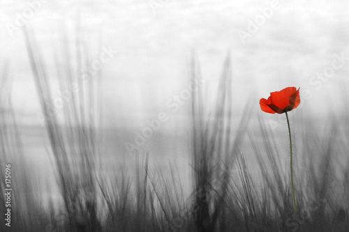 Foto op Canvas Poppy coquelicot