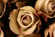 Roses Flower Closeup