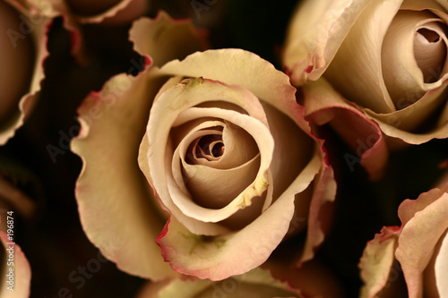 roses flower closeup