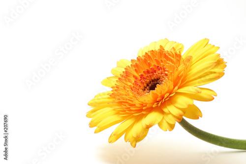 Poster Gerbera yellow orange gerbera