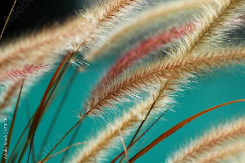 Fotografia fuzzy fountain grass