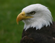 canvas print picture bald eagle portrait